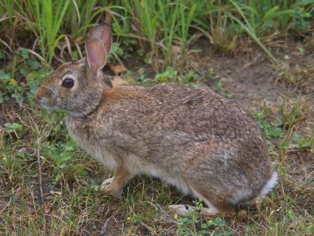 Cottontail 15JLb