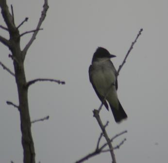 Eastern kingbird 15JLb