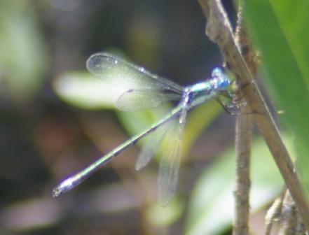 Emerald spreadwing b