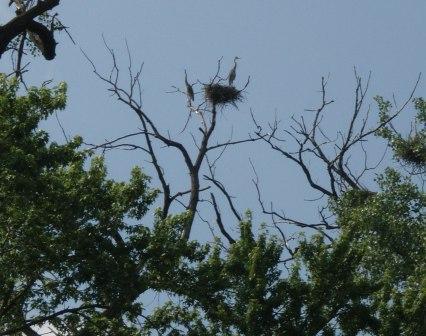 GB heron nest Des Plaines b