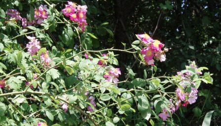 IL roses Des Plaines b