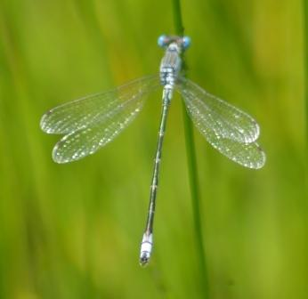 Lyre-tipped spreadwing 3b