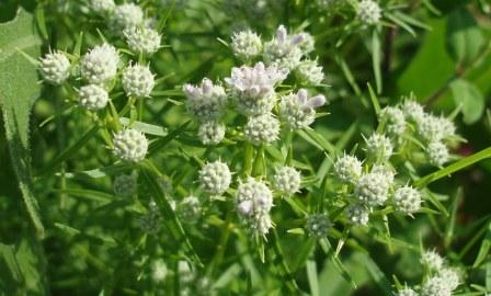 NL mountain mint 2b