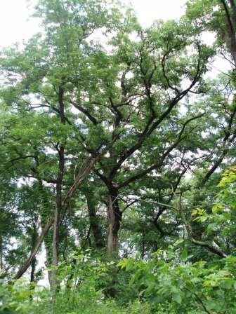 Oaks 13JE York Woods 1b