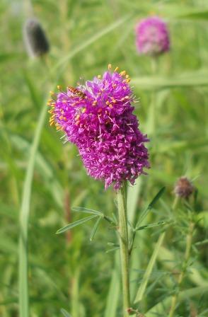 Purple prairie clover b