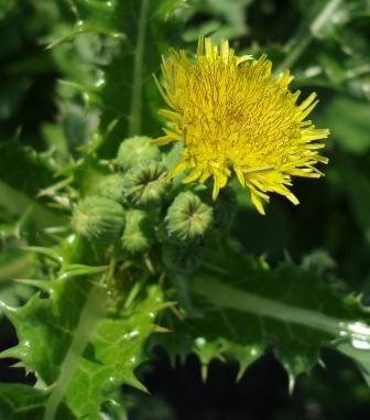 Spiny sow thistle 2b
