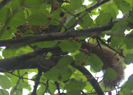 Squirrel mulberry b