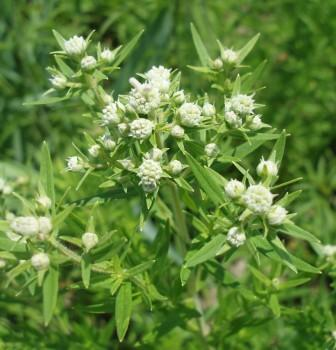 Virginia mountain mint b
