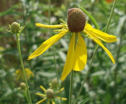 Yellow coneflower b