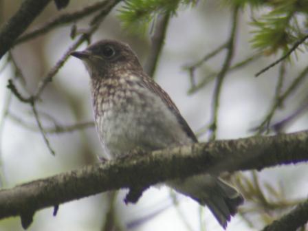 Bluebird fledge 1b