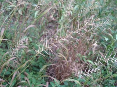 Bottlebrush grass b