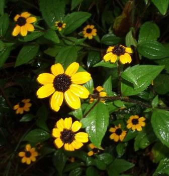 Brown-eyed Susan b