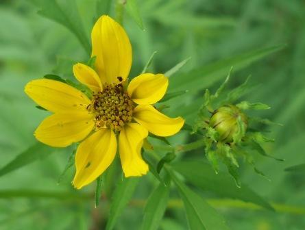 Bur marigold b