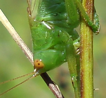 Common meadow katydid cropped 2b