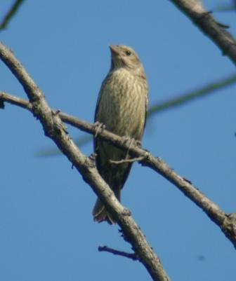 Cowbird older fledgling b