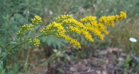 Early goldenrod 2b