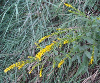 Elm-leaved goldenrod 2b