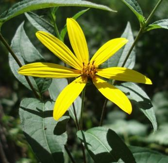 Hispid sunflower b