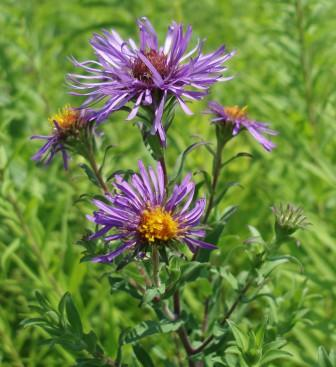 New England aster b