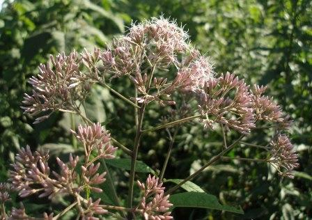 Purple joe-pye weed b