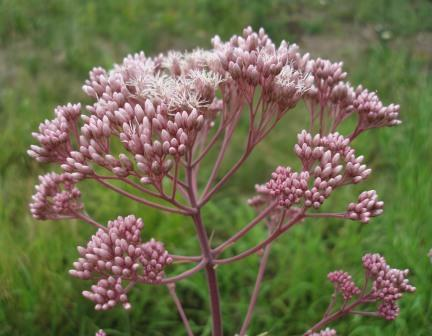 Spotted joe-pye weed b