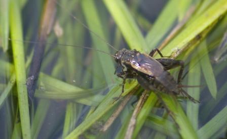 Striped ground cricket 3b