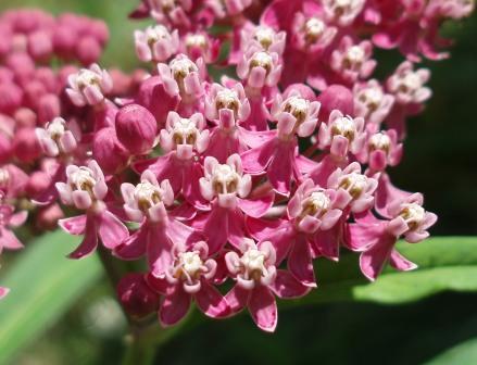Swamp milkweed 2b