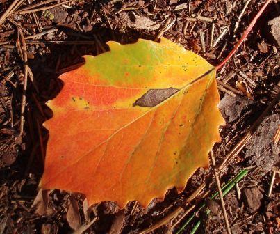Aspen leaf 1b