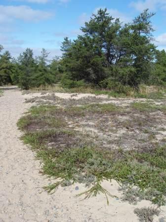 Gray ground cricket habitat b