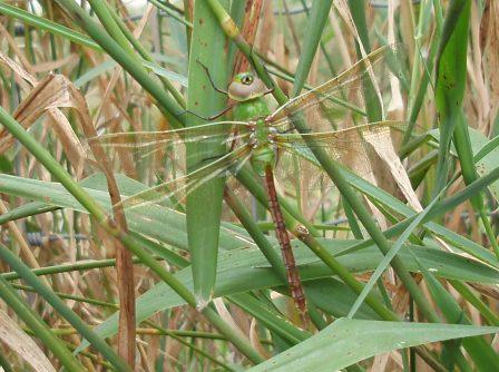 Green darner b