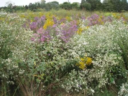 Mayslake prairie flowers fall b