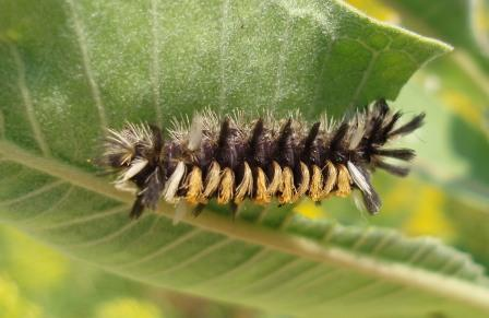 Milkweed tussock moth caterpillar b