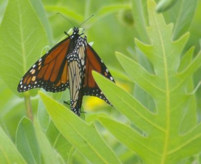 Monarchs mating b
