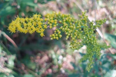 Old-field goldenrod b