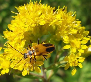 Pennsylvania soldier beetle b