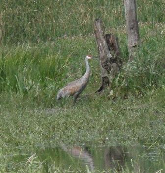 Sandhill crane 2b