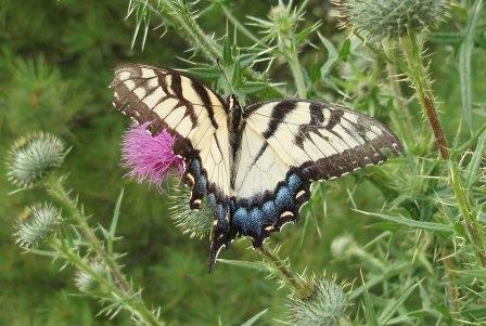 Tiger swallowtail 1b
