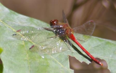 Autumn meadowhawk b