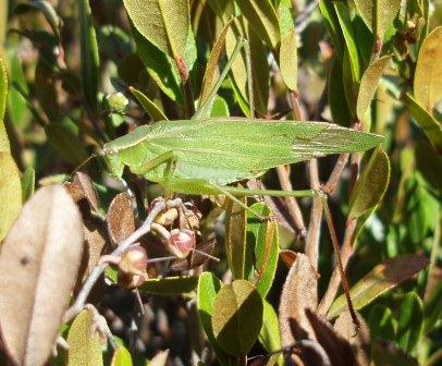 Broad-winged bush katydid 3b