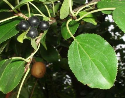 Common buckthorn fruit b