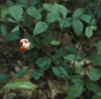 Euonymus obovatus fruit b