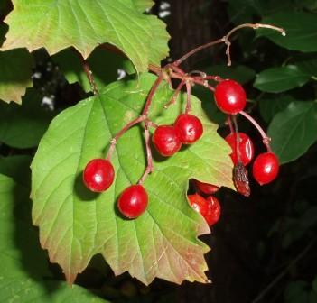 European highbush cranberry fruit b