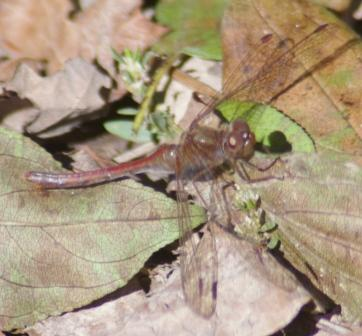 Saffron-winged meadowhawk 6b