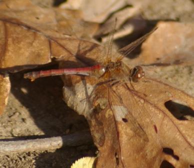 Saffron-winged Meadowhawk Mayslake 2008 3b