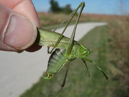 Texas bush katydid 8b