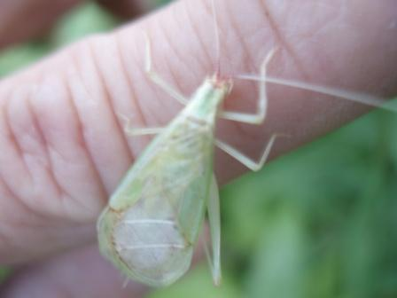 Broad-winged tree cricket 4b