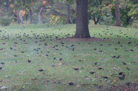 Grackle flock 2b