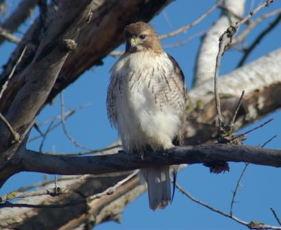 Red-tail Mayslake 1b