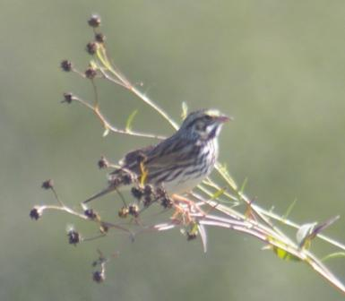 Savannah Sparrow 4b