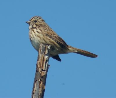Song Sparrow 3b